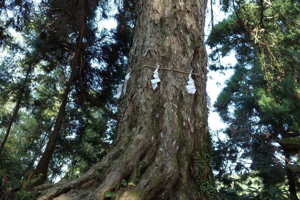 立派なイヌマキの木「熊野神社」湧水町